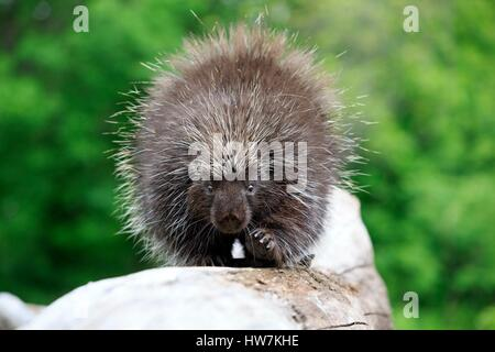 United States, Minnesota, Porcupine (Erethizon dorsatum), - Stock Photo