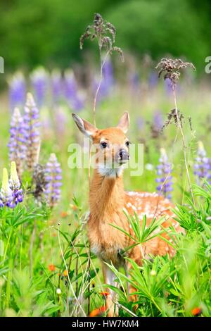 United States, Minnesota, White tailed Deer (Odocoileus virginianus), baby, in a meadow with lupins - Stock Photo