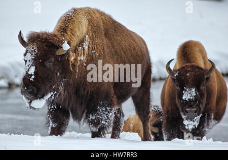 Bison walking along the Madison River in Yellowstone National Park. - Stock Photo
