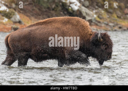 Bull bison fording the Madison River in Yellowstone National Park. - Stock Photo