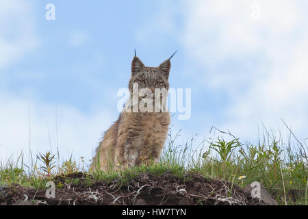 A lynx in the hills near Grassy Pass in Denali National Park, Alaska. - Stock Photo