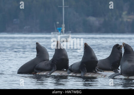 :arge group of Sea Lions above surface - Stock Photo