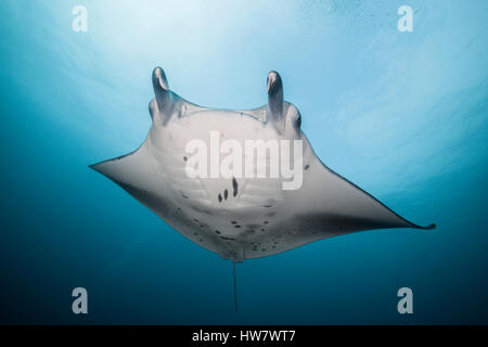 Reef Manta, Manta alfredi, North Male Atoll, Maldives - Stock Photo