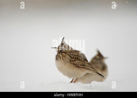 Two Crested larks (Galerida cristata) in winter. Dagestan, Russia. - Stock Photo