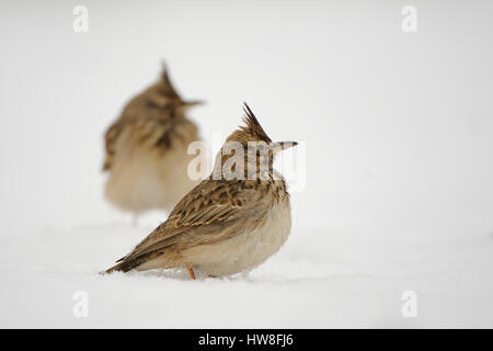 Crested larks (Galerida cristata) in winter. Dagestan, Russia. - Stock Photo