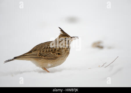 Crested lark (Galerida cristata) in winter. Dagestan, Russia. - Stock Photo