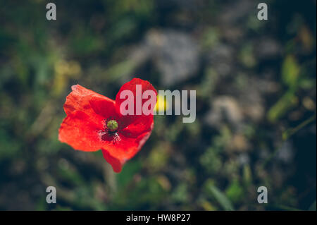 Close up shot of tender poppy flower in blurred background - Stock Photo