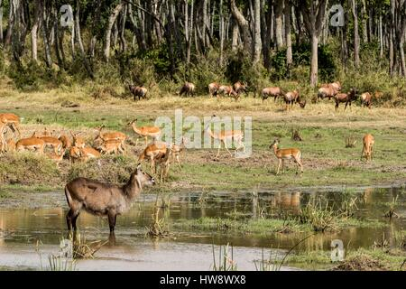 Kenya, Masai-Mara game reserve, waterbuck (Kobus ellipsiprymnus), impalas and topis in a marsh - Stock Photo