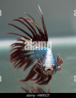 Betta Splendens Copper Crown Tail Male fish - Stock Photo