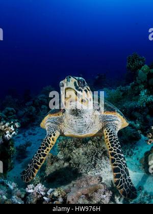 Green Turtle (Chelonia mydas) over reef, Red Sea, Ägyten - Stock Photo