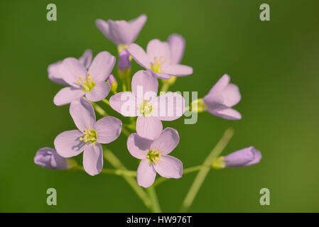Cuckoo Flower (Cardamine pratensis), flowers, North Rhine-Westphalia, Germany - Stock Photo
