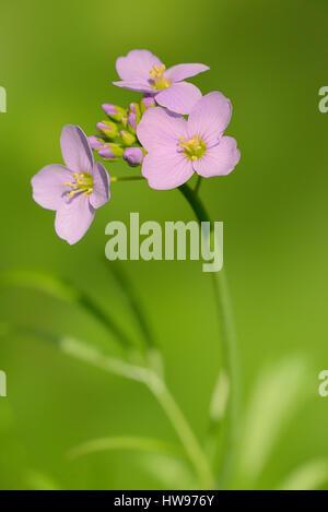 Cuckoo Flower (Cardamine pratensis), flowers, North Rhine-Westphalia, Germany - Stock Photo