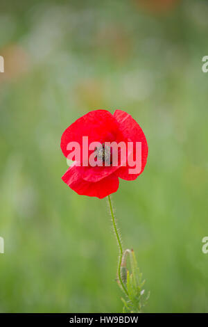 Portrait of single Common Red Poppy, Papaver rhoeas, in flower, Worcestershire, UK - Stock Photo