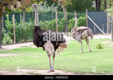 Two Ostrich in a zoo - Stock Photo
