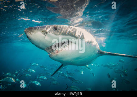 Great White Shark (Carcharodon carcharias) - Stock Photo