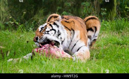 Horizontal close up of a Bengal Tiger. - Stock Photo
