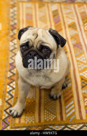 Neako the pug dog showing his good sides for the camera! - Stock Photo