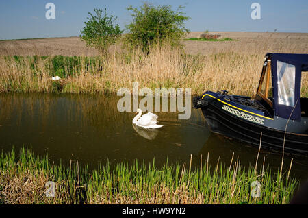 An adult mute swan defending its nest beside the canal, in front of an approaching narrow-boat. - Stock Photo