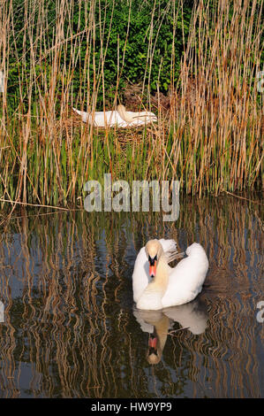 An adult mute swan defending its nest beside the canal. - Stock Photo