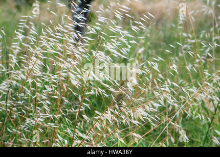 travel to Italy - Panicles of Avena fatua (common wild oat) on meadow in Sicily - Stock Photo