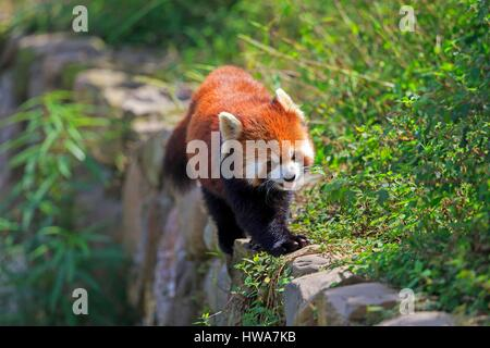 China, Sichuan, Research Base of Giant Panda Breeding or Chengdu Panda Base, Red Panda (Ailurus fulgens), captive - Stock Photo