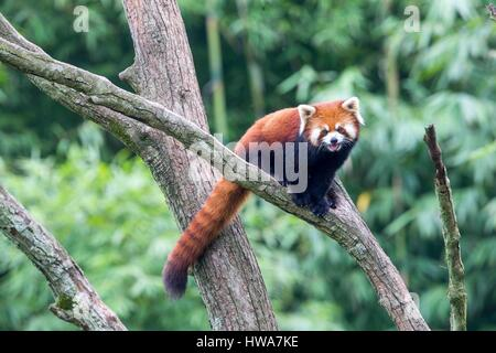 China, Sichuan, Research Base of Giant Panda Breeding or Chengdu Panda Base, Red Panda (Ailurus fulgens), captive, - Stock Photo