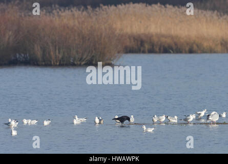 A single black Carrion Crow (Corvus corone) among white black-headed gulls (Chroicocephalus ridibundus, Larus ridibundus) - Stock Photo