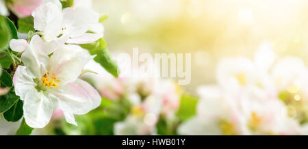 Apple blossoms in soft dreamy sunlight, panoramic closeup with shallow focus and copyspace on bokeh background - Stock Photo