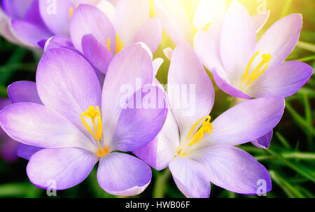 Closeup  of fully blossomed purple crocus flowers in warm sunlight - Stock Photo