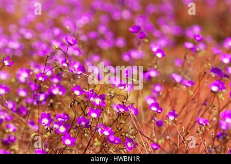 Parakeelya Flowers (calandrinia balonensis) , in Central Australia - Stock Photo