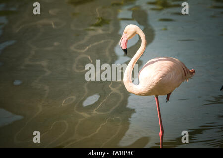 Flamingo (Phoenicopterus) - KL Bird Park, Malaysia - 2016 - Stock Photo
