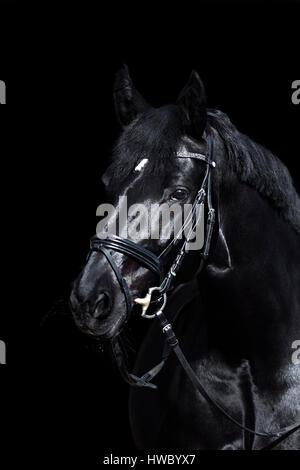 black horse on black background. beautiful shiny warmblood stallion with bridle. - Stock Photo