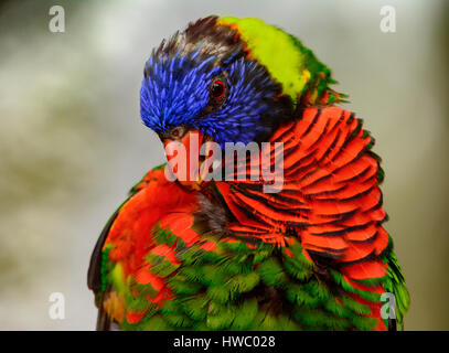Rainbow lori (Trichoglossus moluccanus) close-up as he grooms his feathers. - Stock Photo