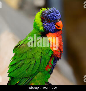 Rainbow lori (Trichoglossus moluccanus) with vivd eyes and plummage. Also called a lorikeet - Stock Photo