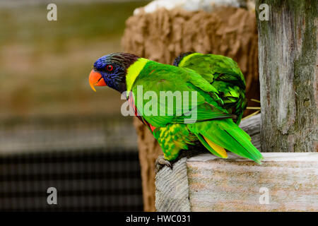 Rainbow lori (Trichoglossus moluccanus) perched in enclosure. Colorful, curious, clever birds. - Stock Photo