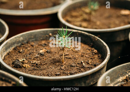 Small Green Sprouts Of Cedar Tree Plant With Leaf, Leaves Growing From Soil In Pot In Greenhouse Or Hothouse. Spring, - Stock Photo