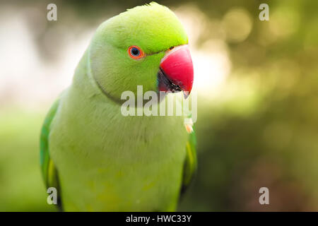 Closeup view of the green rose-ringed (ring necked) parakeet, Psittacula krameri on the blurred background - Stock Photo