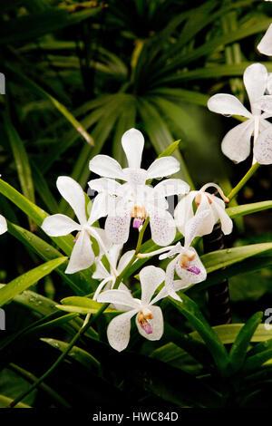 Tropical orchid white flower hybrid, Singapore Botanic gardens Stock ...