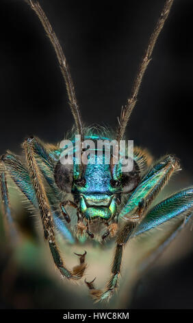 Thick Legged flower beetle, Oedemera nobilis, portrait view showing iridescence