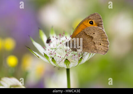 Meadow brown butterfly, Maniola jurtina, feeding on Astrantia major in a summer garden - Stock Photo
