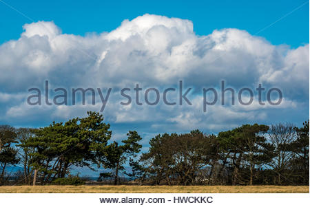 Tree line of Scots pine trees, Pinus sylvestris, with fluffy white cloud formations and blue sky, East Lothian, - Stock Photo
