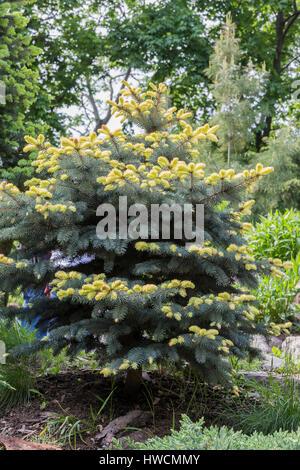 Blue spruce (Picea pungens 'Bialobok') - Stock Photo