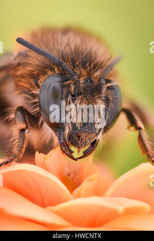 Extreme magnification - Bee pollinating flower - Stock Photo