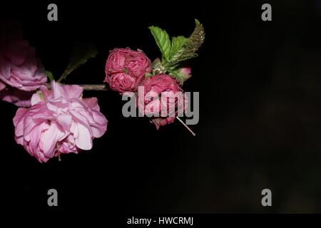 Sakura buds on a black background. - Stock Photo