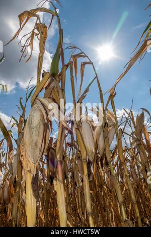 Dry damages in the agriculture. Corn field in the heat., Dürre Schäden in der Landwirtschaft. Maisfeld in der Hitze. - Stock Photo