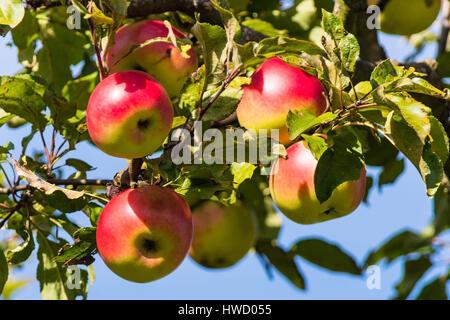Apples in autumn on an apple tree. Fresh vitamins in the coloured season, Aepfel im Herbst auf einem Apfelbaum. - Stock Photo