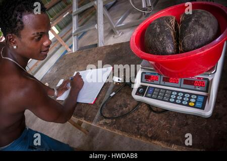 Seychelles, Mahe Island, Le Cap, craft village, Sarah RODDY weighs an endemic full Coco de mer nut (Lodoicea maldivica), - Stock Photo