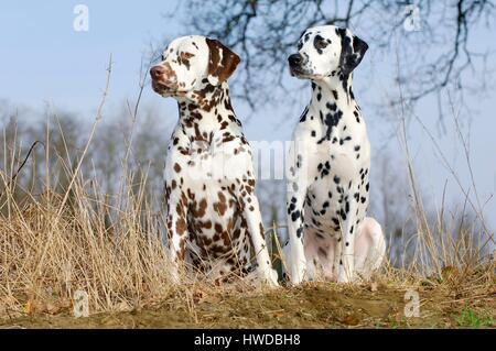 Dalmatian dog (Canis lupus familiaris) - Stock Photo