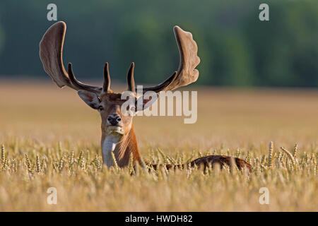 Fallow deer (Dama dama) buck with antlers covered in velvet in wheat field in summer - Stock Photo
