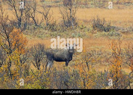Moose (Alces alces) young bull with small antlers foraging in moorland in autumn, Scandinavia - Stock Photo
